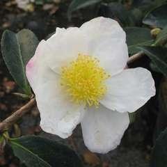 Camelia 'Narumi-gata' : 2 litres (blanc rosé parfumé)