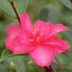 Camélia sasanqua 'Hiryu':pot 4L