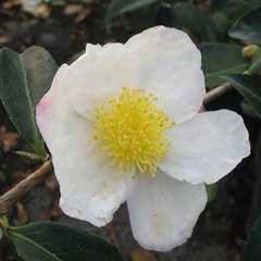 Camelia 'Narumi-gata' : 4 litres (blanc rosé parfumé)