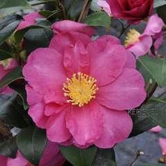 Camellia 'Paradise®Belinda' :pot 4L