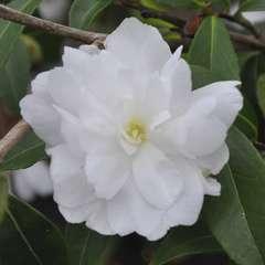 Camellia 'Paradise®Little Liane' :pot 4L