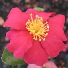 Camélia sasanqua 'Crimson King':pot 7.5L