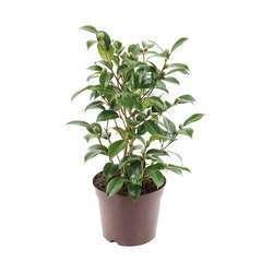 Camélia sasanqua 'Early Pearly':pot 7.5L