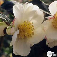 Camelia 'Narumi-gata' : 7.5 litres (blanc rosé parfumé)