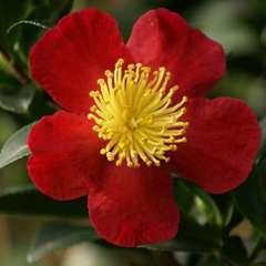 Camellia sasanqua 'Yuletide' : C7.5L