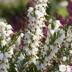 Erica X darleyensis 'White perfection' : 10 litres (blanche)