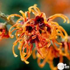 Hamamelis Winter Gem : 7.5L (orange vif et ocre-jaune)