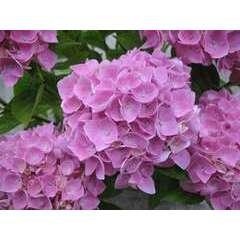 Hydrangea Primeur macrophyla Ankong® rose : 10 litres