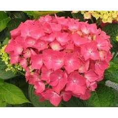 Hydrangea macrophylla ' Leuchtfeuer ':10 litres (rouge sombre)