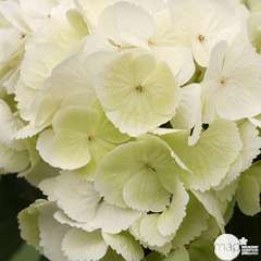 Hydrangea macrophylla 'Schnee Ball', 10 L (blanc)