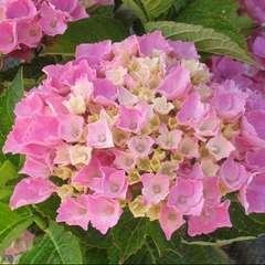 Hydrangea Macrophylla Xian Rose : C.2L
