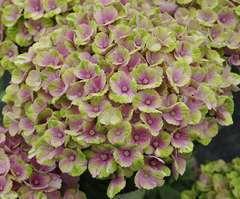 Hydrangea Coral Rose : C.3L