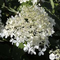 Hydrangea paniculata 'Phantom' : 10 L (blanc crème)
