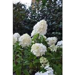 Hydrangea 'Silver Dollar' : 10 L (blanc)