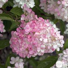 Hydrangea 'Vanille Fraise®' : 10L (blanc et rose)