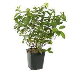 Hydrangea paniculata 'Unique' : 5L (blanc puis rosé)