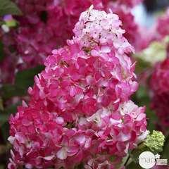 Hydrangea paniculata 'Fraise Melba'®: 3L (blanche et rouge)