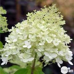 Hydrangea Limelight ®: 3 L (blanc citron)