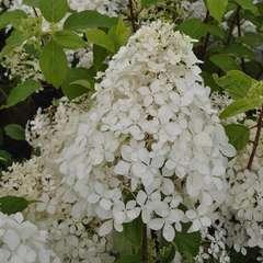 Hydrangea paniculata 'Phantom' : 3 L (blanc crème)