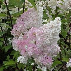 Hydrangea vanille Fraise : 3L (blanc et rose)