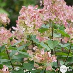 Hydrangea paniculata ' Early Sensation '® : 5L (blanc puis rose)