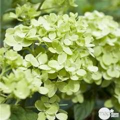 Hydrangea paniculata 'Little Lime ' : 5 L (vert anis)