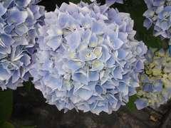 Hydrangea Ankong Bleu : C.5L
