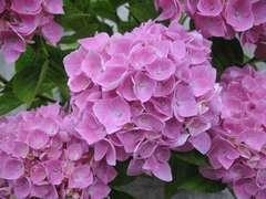 Hydrangea Ankong Rose : C.5L
