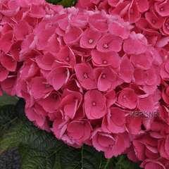 Hydrangea primeur ' Dalian ': 5 litres (rouge framboise)