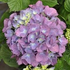 Hydrangea Eraly Blue : C.5L