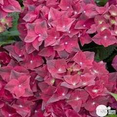 Hydrangea macrophylla 'Green Shadow' : 5 litres (rouge pourpré)