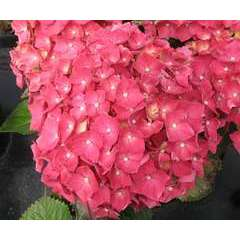 Hydrangea macrophylla ' Leuchtfeuer ' : 5L (rouge sombre)