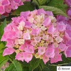 Hydrangea Nanping Rose : C.5L