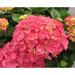 Hydrangea macrophylla ' Red Baron ' : 5 litres (rouge)