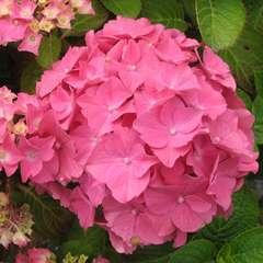 Hydrangea macrophylla ' Rosita ' :  5 litres (rose)