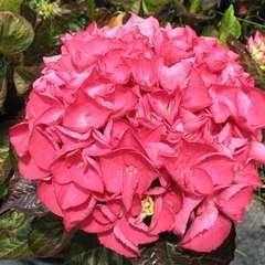 Hydrangea Sanguine : C.5L