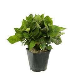 Hydrangea Serrata Avel Roz : C.2L