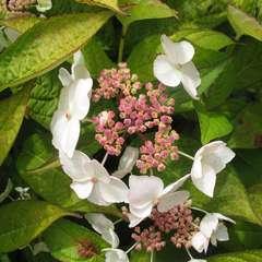 Hydrangea Serrata 'Grayswood', 2 L