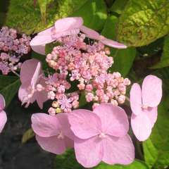 Hydrangea serrata 'Miranda' :2 litres (rose pâle)