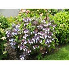 Hydrangea serrata ' Shojo ' :2 litres (bleu foncé)
