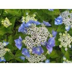 Hydrangea macrophylla ' Blue Sky ': 10 litres (bleu)