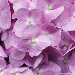 Hydrangea Nanping Rose : C.10L