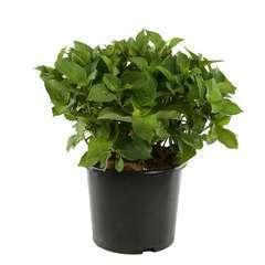 Hydrangea Macrophylla Dolce Fragola : C.15L