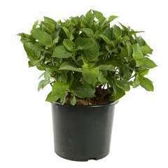 Hydrangea macrophylla 'Teller Mousmée': C15L