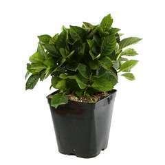Hydrangea macrophylla ' Beijing ' : 5 litres (rose pâle)