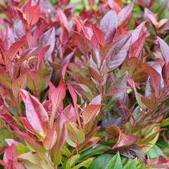 Leucothoe fontanesiana 'Red Leaf': conteneur 4 litres