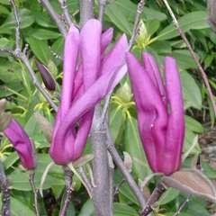 Magnolia x Susan: 15 L (pourpre violet)