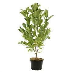 Magnolia loebneri Leonard Messel: 7.5 L (rose lilas)