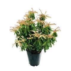 Pieris japonica 'Rosalinda' : conteneur 5L
