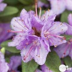 Rhododendron nain x 'Ramapo': 4  litres (mauve violacé)